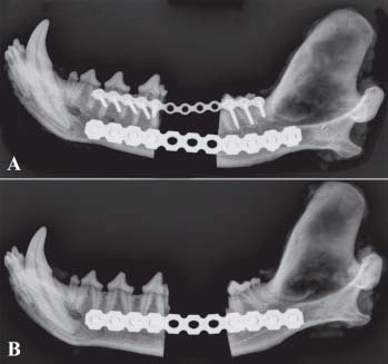 Canine mandible with titanium plate